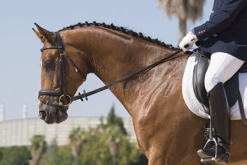 Cavalo de KWPN igualmente conhecido como o warmblood holandês foto de stock royalty free
