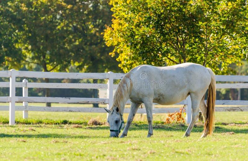 Cavalo de Lipizzan fotos de stock