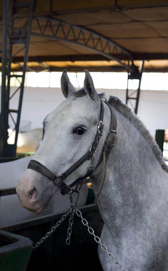 Cavalo de Lipizzan foto de stock royalty free