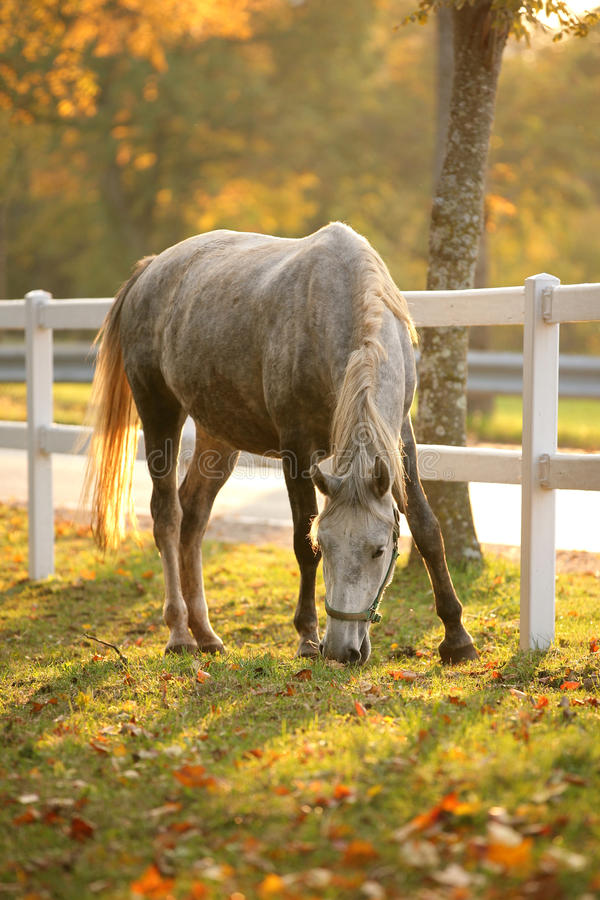 Cavalo de Lipizzan que pasta fotografia de stock royalty free