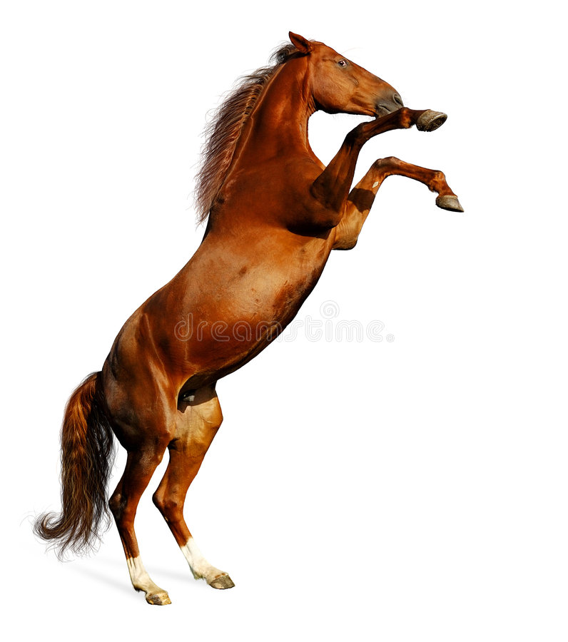 Cavalo de louro imagens de stock royalty free