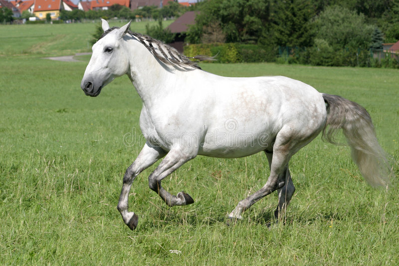 Cavalo de Lusitano imagens de stock