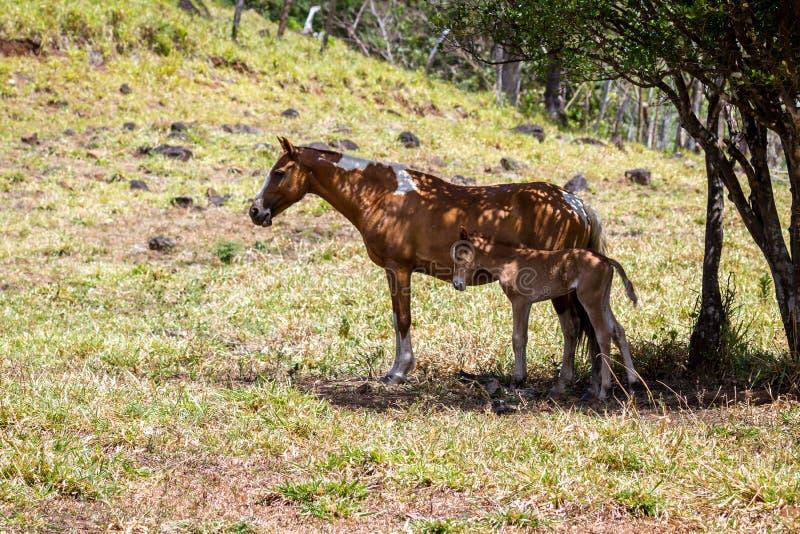 Cavalo de Moma e sua falta imagens de stock royalty free