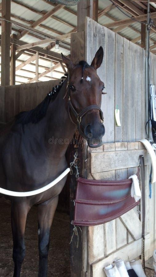 Cavalo de raça fotografia de stock