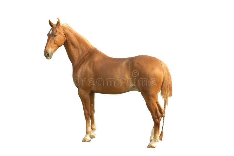 Cavalo de Saddlebred fotografia de stock
