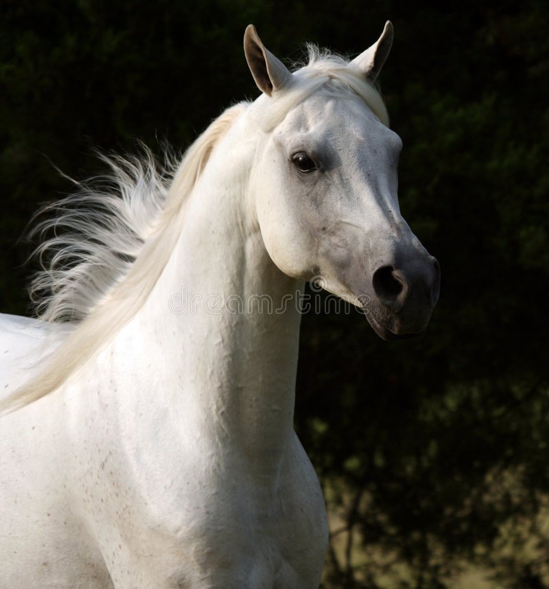 Cavalo desenfreado fotografia de stock royalty free