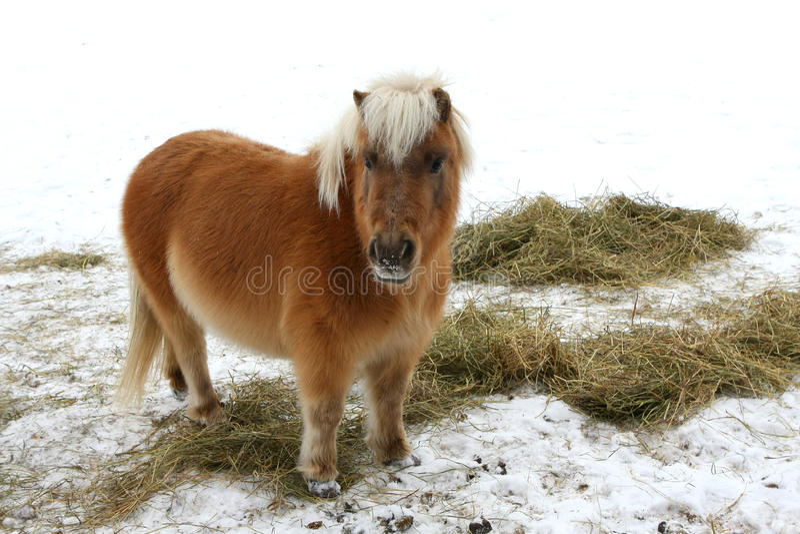 Cavalo diminuto imagens de stock