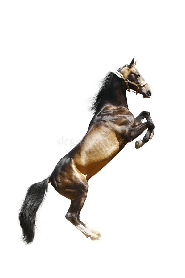 Cavalo do ackal-teke do puro-sangue isolado fotografia de stock royalty free
