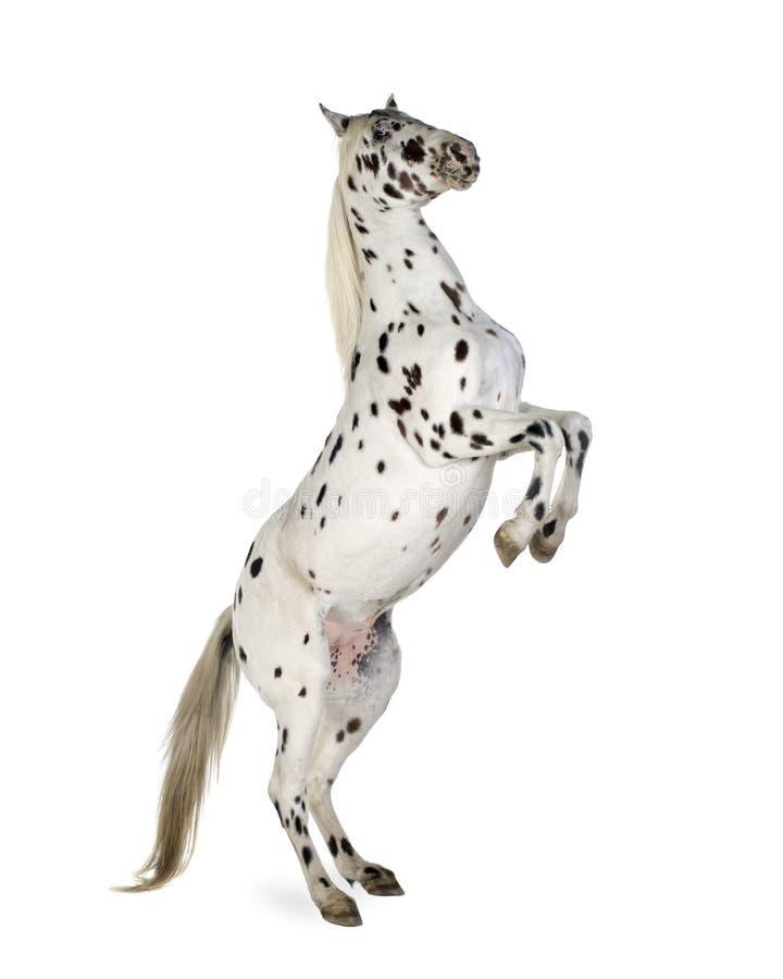 Cavalo do Appaloosa foto de stock
