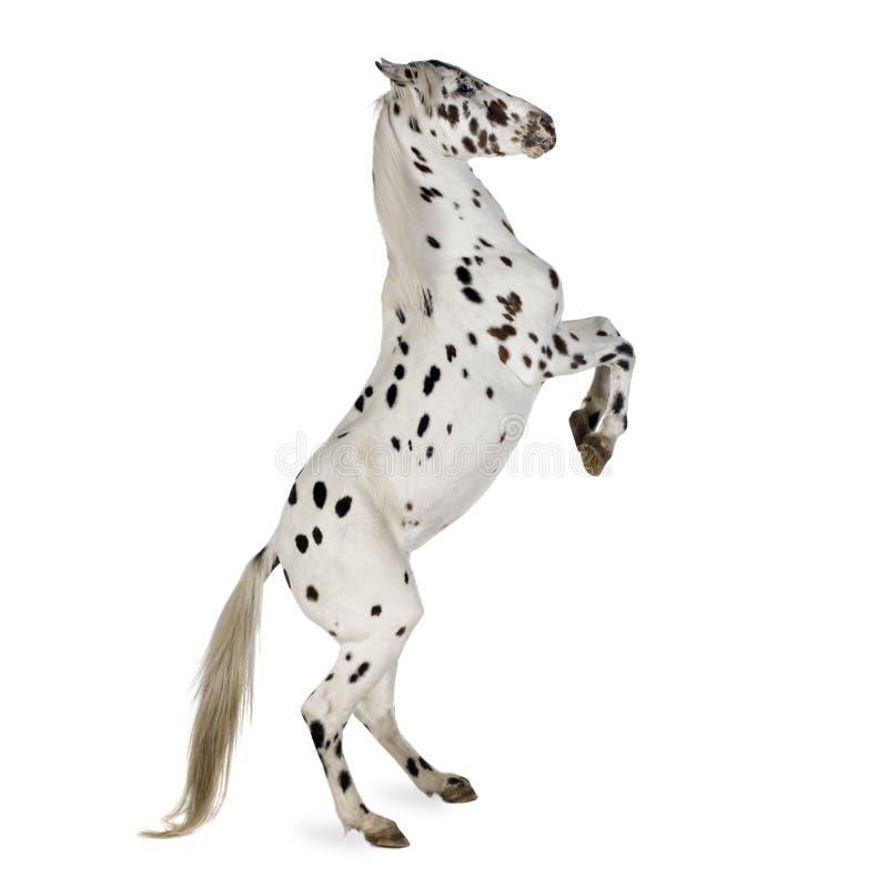 Cavalo do Appaloosa imagem de stock royalty free