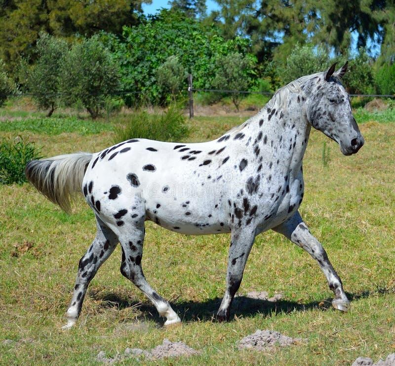 Cavalo do Appaloosa fotos de stock