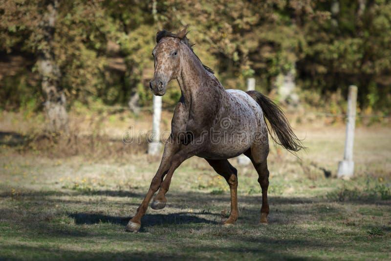 Cavalo do Appaloosa que galopa nas sombras de algumas árvores fotografia de stock royalty free