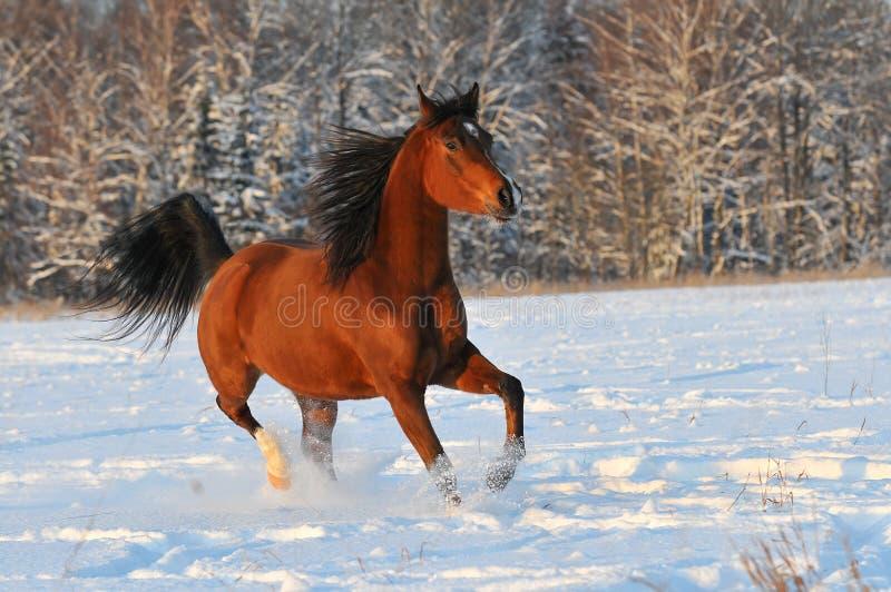 Cavalo do arabian do louro fotografia de stock royalty free