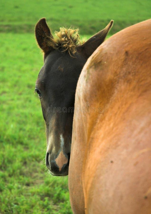 Cavalo do bebê que esconde atrás da égua fotografia de stock