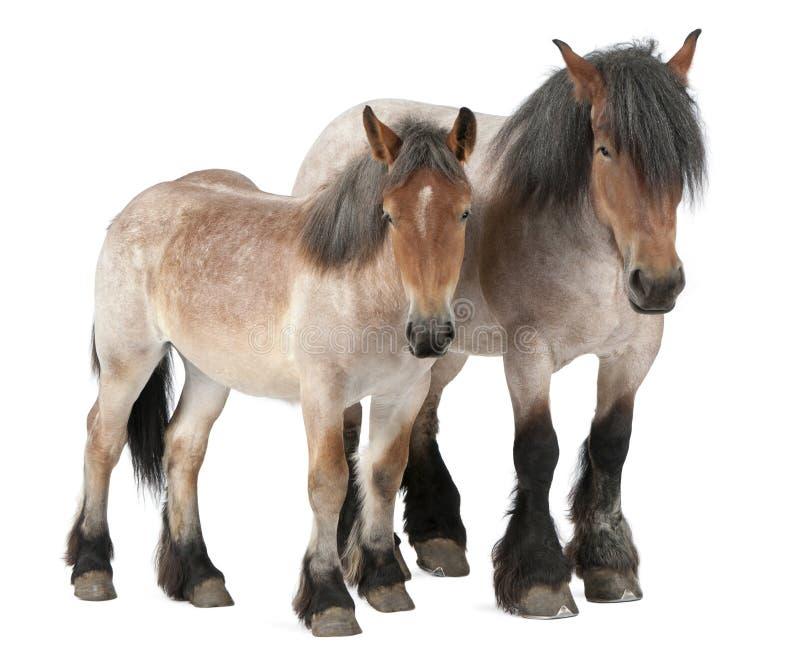 Cavalo do belga da matriz e do potro fotografia de stock