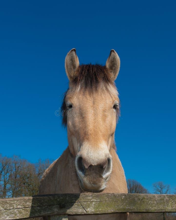 Cavalo do Fjord imagens de stock royalty free
