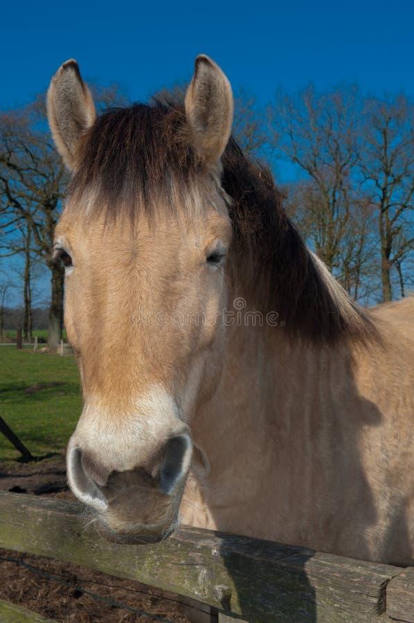 Cavalo do Fjord fotografia de stock