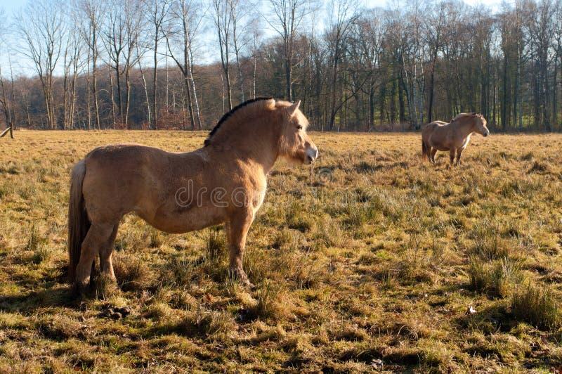 Cavalo do Fjord fotos de stock royalty free