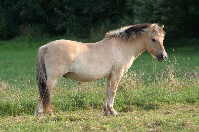 Cavalo do Fjord foto de stock royalty free