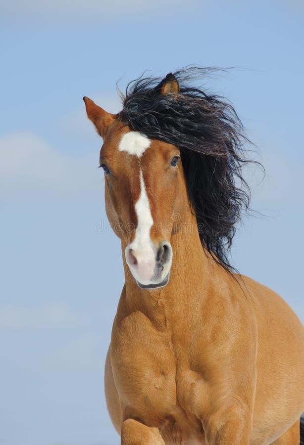 Cavalo do mustang foto de stock royalty free