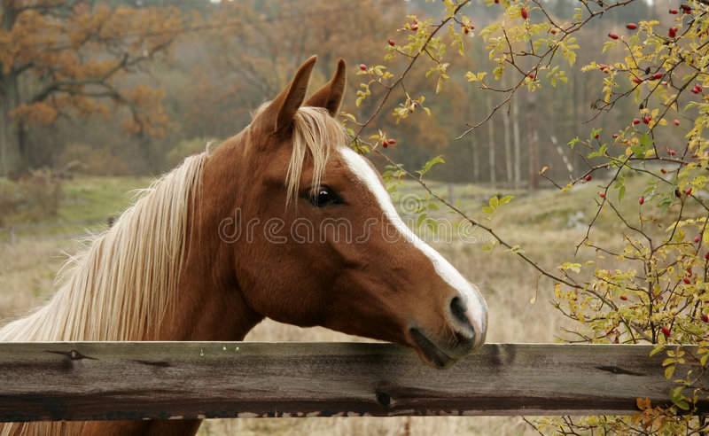 Cavalo do outono fotografia de stock royalty free