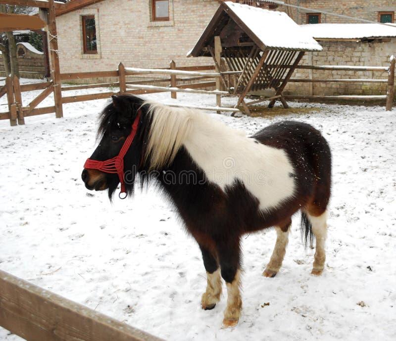 Cavalo do pônei imagens de stock