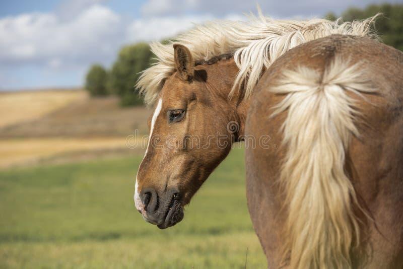 Cavalo do pônei de Shetland que olha ao lado horizontal Copyspace fotos de stock
