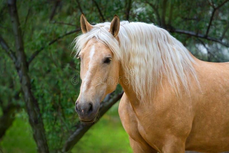 Cavalo do Palomino com o retrato longo da juba fotos de stock royalty free