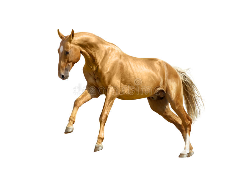 Cavalo do Palomino isolado no branco fotografia de stock