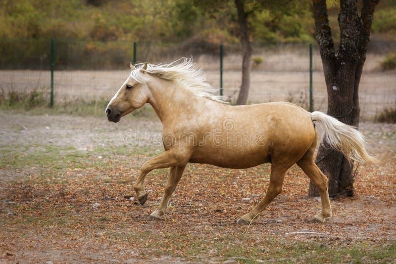 Cavalo do Palomino que galopa através de um prado no outono fotos de stock royalty free