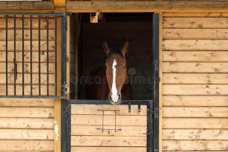Cavalo do puro-sangue em seu estábulo fotografia de stock