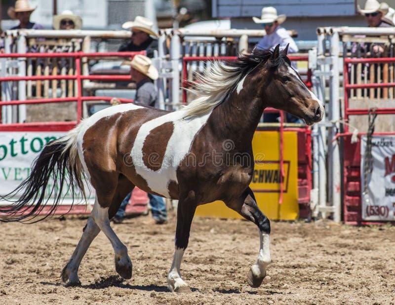 Cavalo do rodeio fotografia de stock royalty free