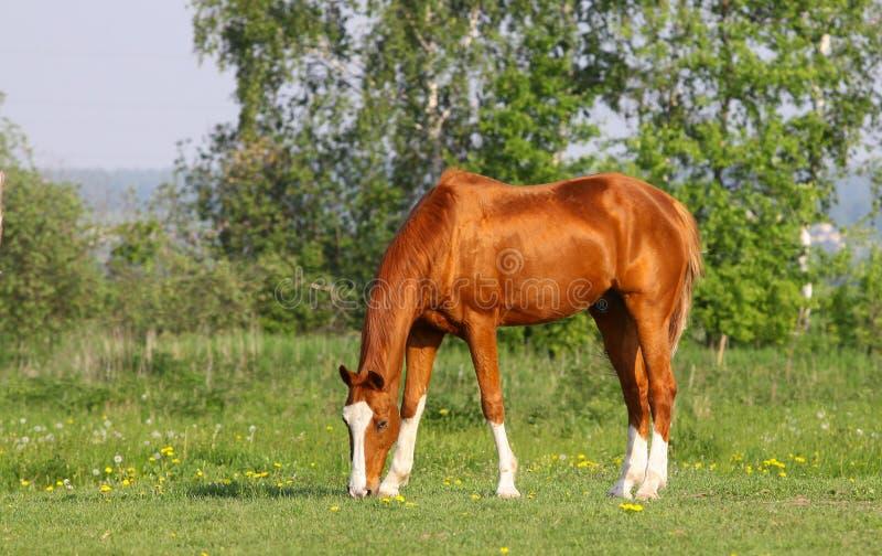 Cavalo dourado da castanha fotos de stock royalty free
