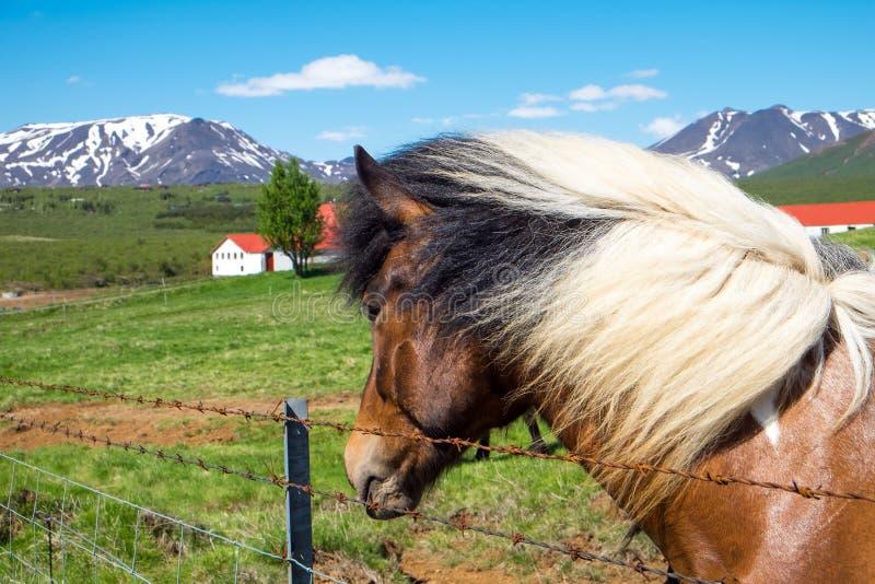 Cavalo e exploração agrícola em Islândia foto de stock royalty free