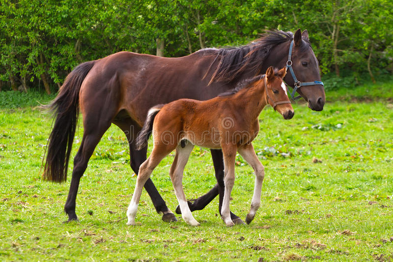 Cavalo e o potro fotografia de stock royalty free