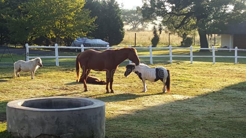 Cavalo e pônei fotografia de stock