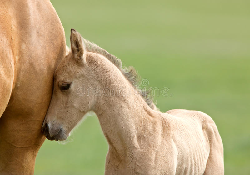 Cavalo e potro imagens de stock