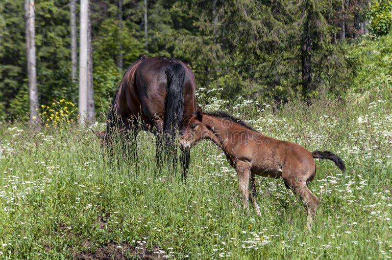 Cavalo e potro que comem a grama imagem de stock