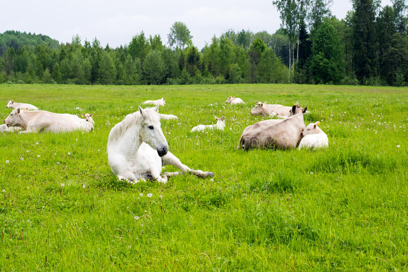 Cavalo e vaca que encontram-se no prado fotografia de stock
