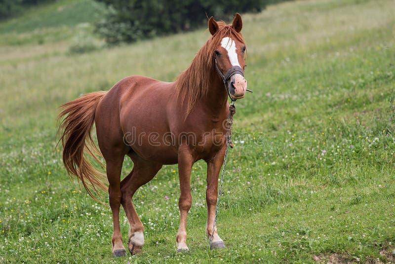 Cavalo em Carpathians imagens de stock