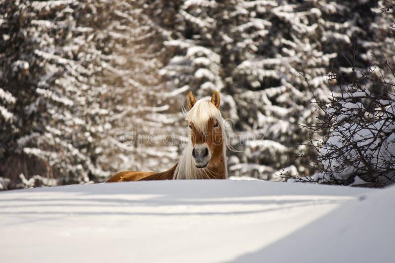 Cavalo em uma paisagem do inverno imagens de stock royalty free