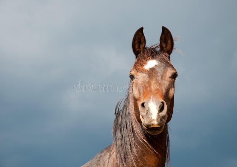 Cavalo escuro considerável do Arabian do louro imagem de stock