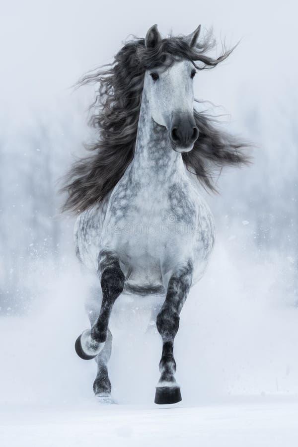 Cavalo espanhol longo-maned cinzento de galope no inverno fotos de stock royalty free