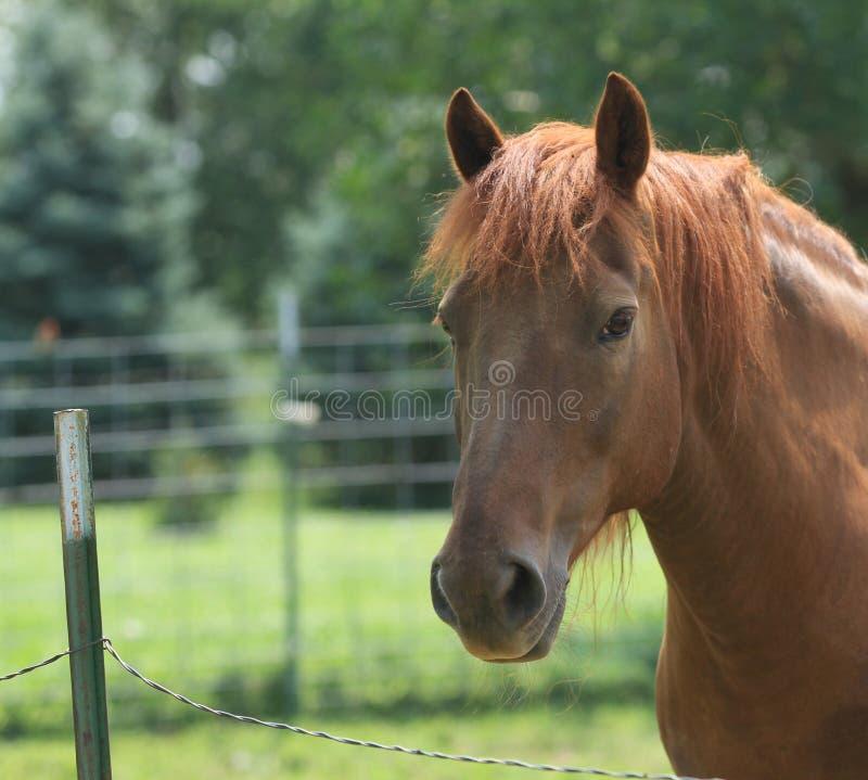 Cavalo feliz de Morgan no pasto verde imagens de stock