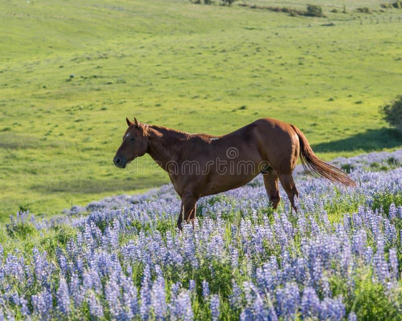 Cavalo feliz no arquivado do Lupine de florescência foto de stock