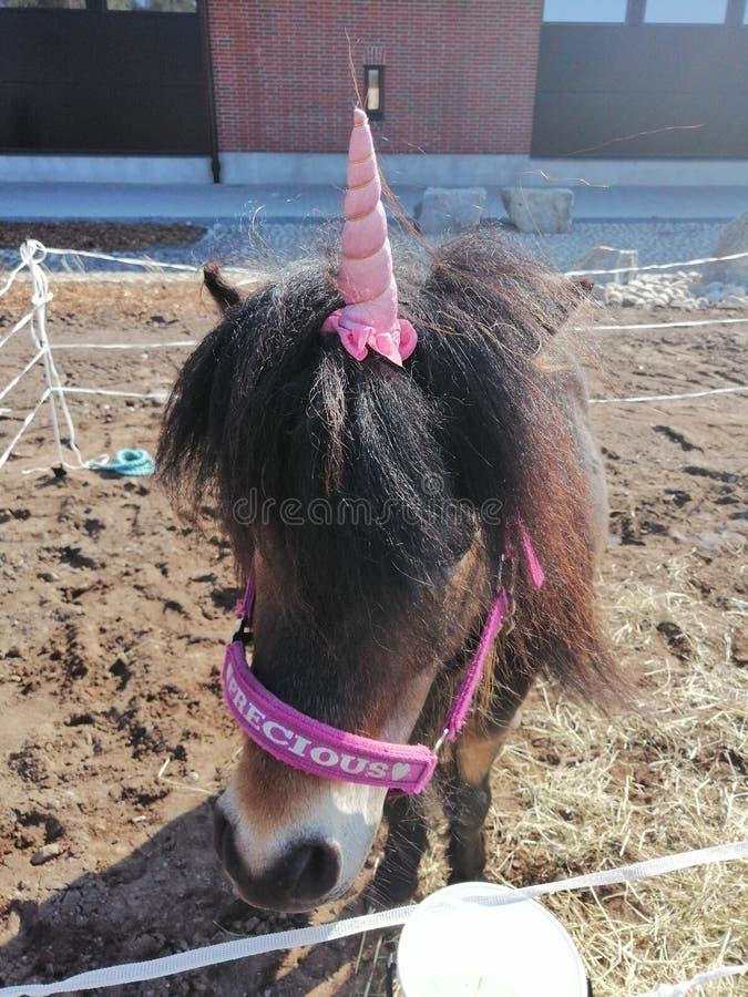 Cavalo Finlandia precioso do pônei do unicórnio foto de stock