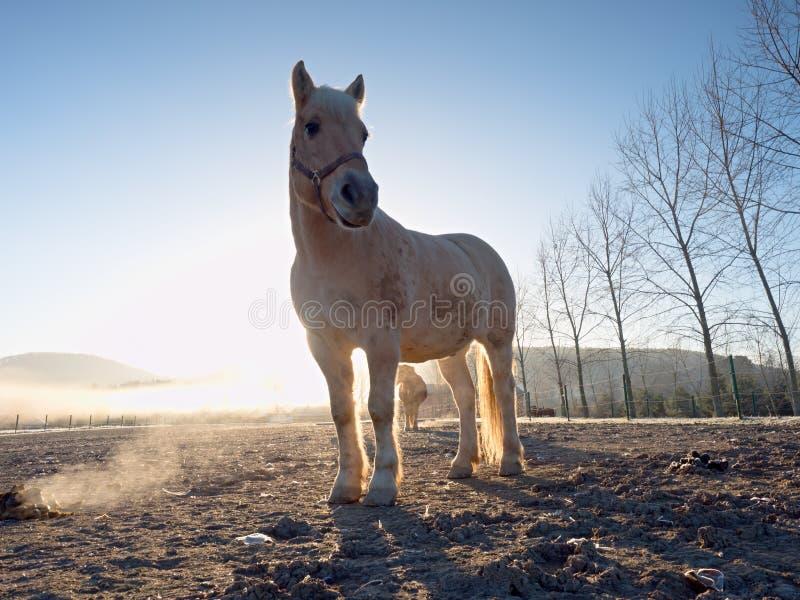 Cavalo forte branco que pasta na capoeira enlameada fotografia de stock
