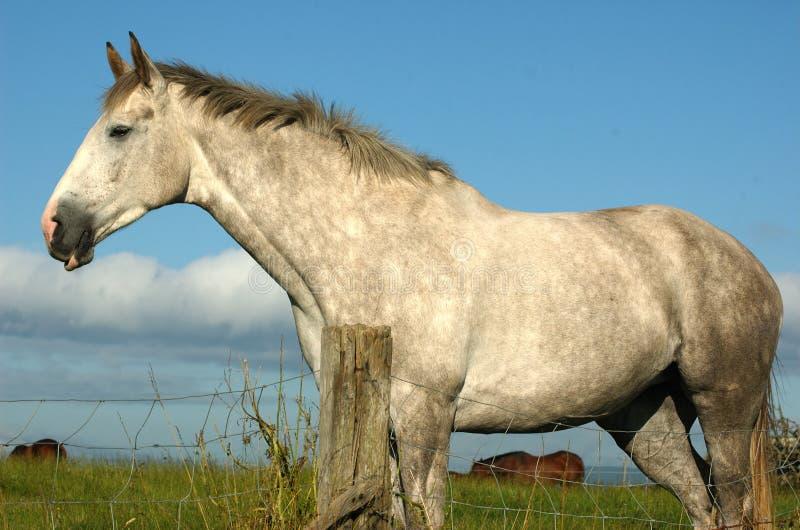 Cavalo irlandês fotos de stock