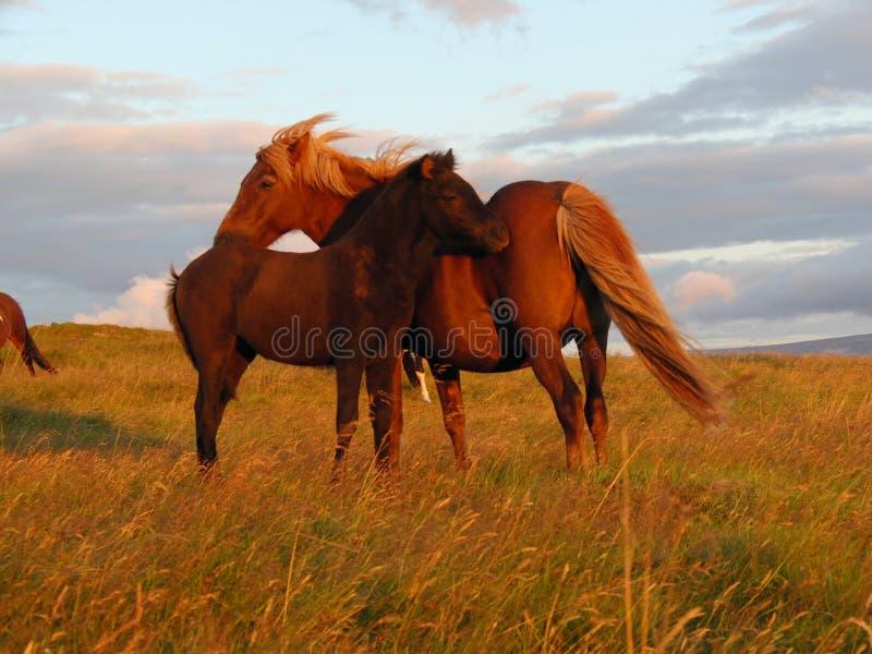 Cavalo islandês - égua e potro fotos de stock