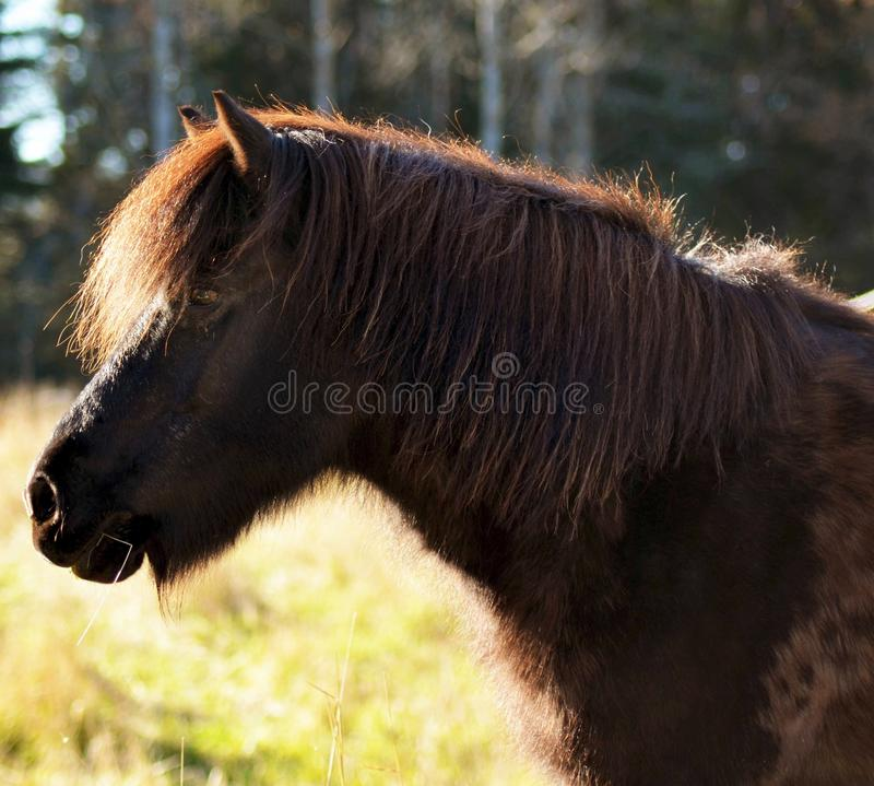 Cavalo islandês foto de stock royalty free